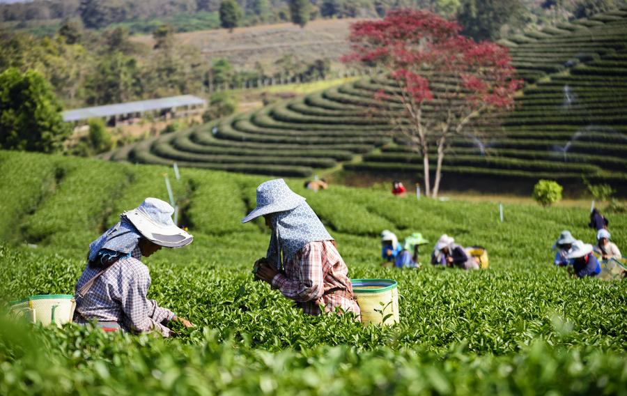 Cameron Highlands, um dos locais de cultivo de chá na Malásia - destino na Ásia